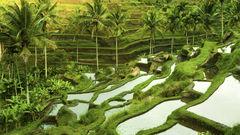 Gröna risfält i soluppgången i Ubud.