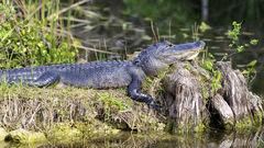 Upptäck alligatorer i Everglades.