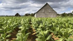 En av Kubas många tobaksplantager.